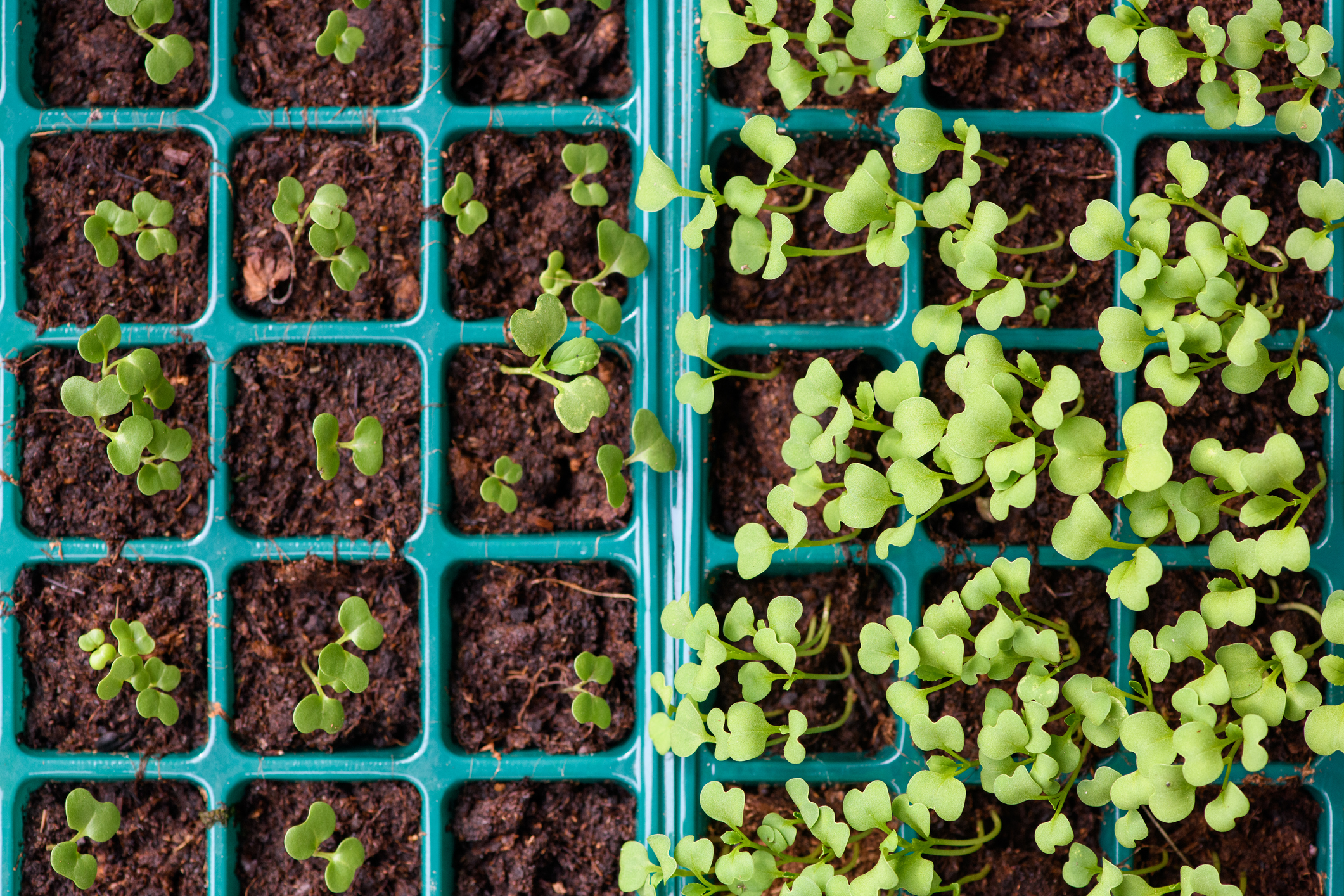 Scientists From The University Of California Plan To Grow Medicine Filled Edible Plants For People With Needle Phobia