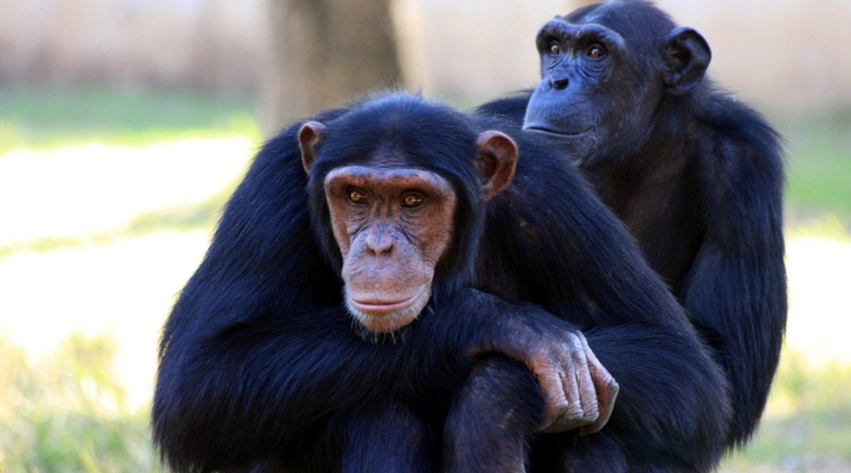 Health Experts Identify Incidents Of Leprosy Among Wild Chimpanzees In West Africa For The First Time